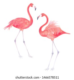 Watercolor realistic illustration of two pink flamingo bird .