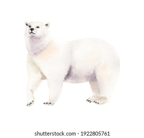 Watercolor realistic white bear animal isolated on a white illustration.