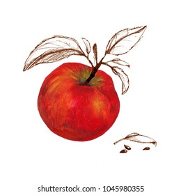 Watercolor red apple with sketched leaves