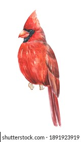 Watercolor red cardinal bird on white background. Watercolour wild life illustration.