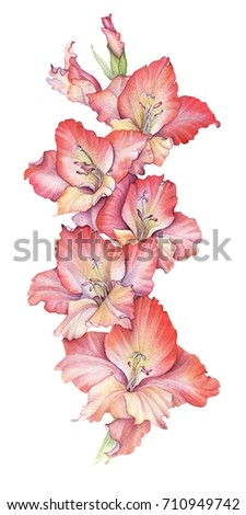Watercolor Red Gladiolus Flower Drawing White Stock Illustration