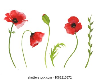 Watercolor red poppy flowers and green leaves. Botanical illustration. Real watercolor painting