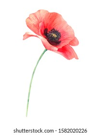 Watercolor red poppy. Wild flower bouquet isolated on white. Hand painting illustration for interior decoration, textile printing, invitation and greeting cards.