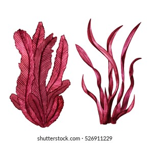 Watercolor red sea weed. Plants closeup isolated on white background set. Hand painting on paper