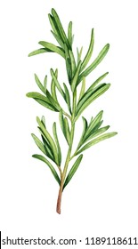 Watercolor rosemary herb illustration