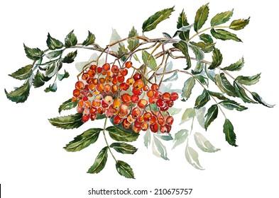 Watercolor Rowan. Ash-berry