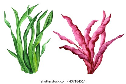 Watercolor sea weeds set isolated on white background. Hand painting on paper