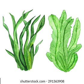 Watercolor seaweed, green leaves, set closeup isolated on white background. Hand painting on paper