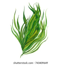 watercolor seaweed, watercolor illustration  on white background
