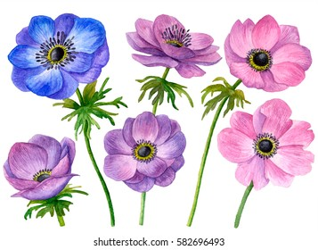 Watercolor set of anemone flowers, hand drawn floral illustration isolated on white background.