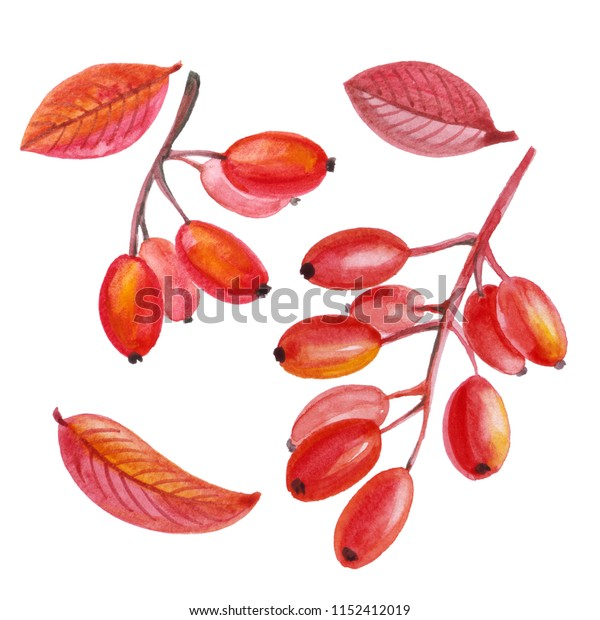 Watercolor set of autumn berries and leaves. Branch with ripe berries barberry and red leaves. To create a composition for the invitation, congratulations, autumn holidays, presentations, logos, print