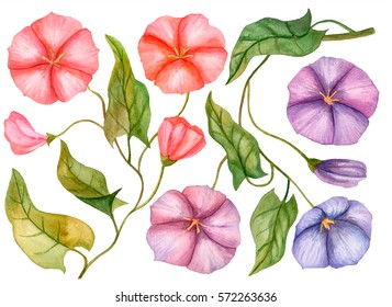 Watercolor set of bindweed flowers, hand drawn illustration of floral elements isolated on white background, colorful flowers with leaves.