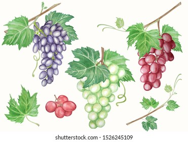 Watercolor set of bunches grapes. Hand drawn illustrations isolated white background. Decor for wine cards, booklet and menu bar