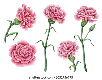Watercolor set of carnations, spring flowers isolated on a white background, hand drawn floral illustration.