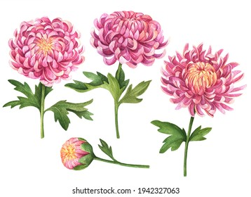Watercolor set of chrysanthemum flowers, hand painted floral illustration isolated on white background.