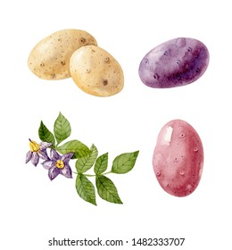 Watercolor set with colored potatos and potato flowers and leaves isolated on white background. Handdrawn clipart.
