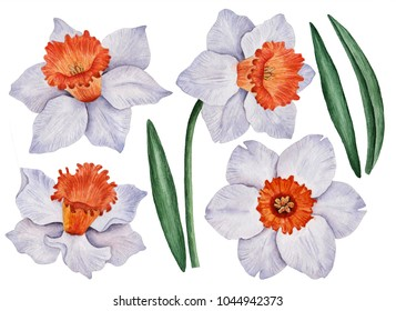 Watercolor set of daffodils, hand drawn floral illustration, spring flowers isolated on a white background.