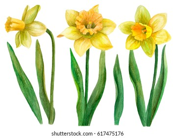 Watercolor set of daffodils, hand drawn floral illustration, spring flowers isolated on white background.