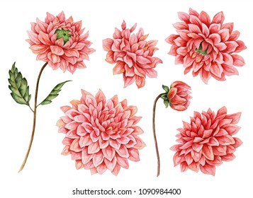 Watercolor set of dahlia flowers, hand drawn botanical illustration, floral elements isolated on a white background.