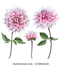 Watercolor set of dahlia flowers, hand drawn floral illustration, botanical elements isolated on a white background.