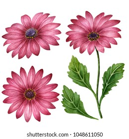 Watercolor set of daisies, hand drawn floral illustration, purple flowers isolated on a white background.
