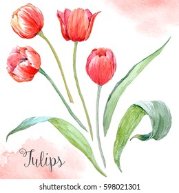 Watercolor set drawing a red tulip and leaves, isolated object on a white background