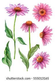 Watercolor set of echinacea flowers, hand drawn botanical illustration isolated on white background.