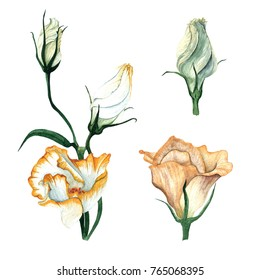 Watercolor set of flowers Eustoma. Flower delicate bouquet and burgeon of flowers Eustoma, Lysianthus.