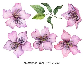 Watercolor set of flowers, hand drawn illustration of rhododendron, bright floral elements isolated on a white background.