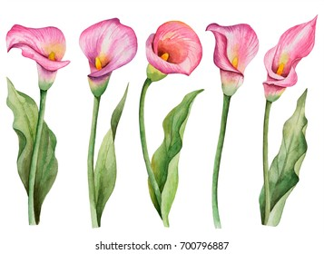 Watercolor set of flowers, hand drawn floral illustration, pink calla lilies isolated on white background.
