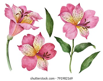 Watercolor set of flowers, hand drawn illustration of alstroemeria, bright floral elements isolated on a white background.