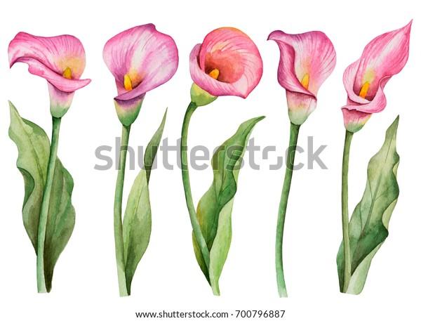 Акварельный набор цветов, ручная рисованная цветочная иллюстрация, розовые лилии каллы, изолированные на белом фоне.