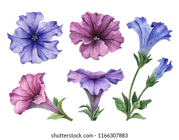 Watercolor set of flowers, illustration of petunia, hand drawn floral elements isolated on a white background.