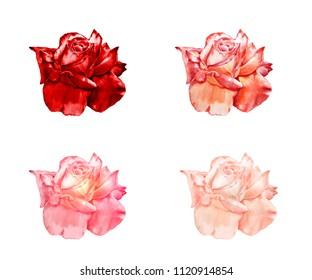 Watercolor set of four roses in different shades of red