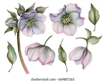 Watercolor set of hellebore flowers, hand drawn floral illustration isolated on white background.