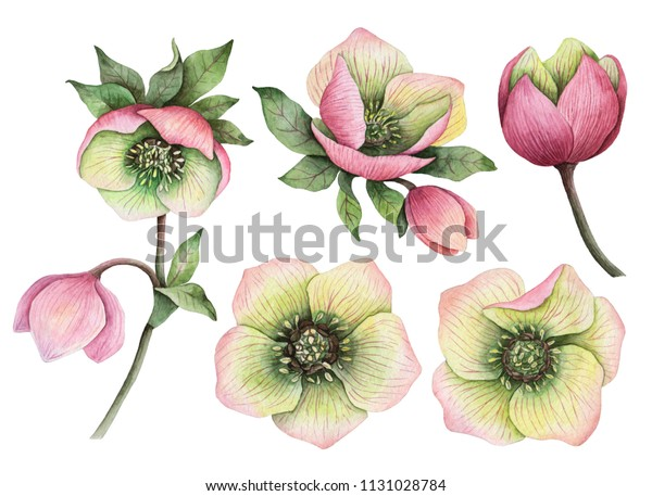 Watercolor Set Hellebore Flowers Hand Painted Stock Illustration