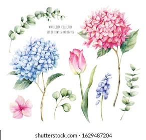 Watercolor set of hydrangea flowers, tulip, eucalyptus leaves and muscari. Botanical illustration and natural objects on a white background for your design