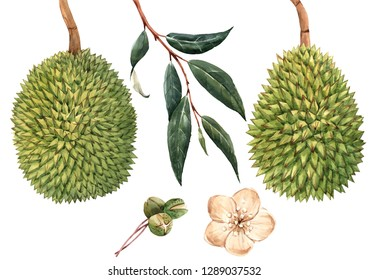 Watercolor set  illustration on the branch of the fruit durian, green leaves, flowers durian