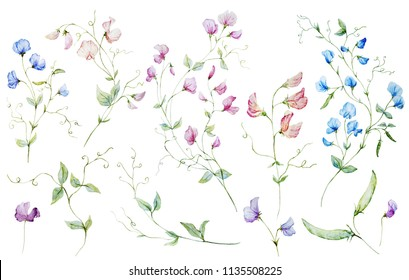 Watercolor set of illustrations blooming sweet peas  on white background, floral botanical card