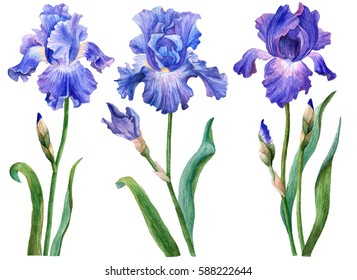 Watercolor set of irises, hand drawn floral illustration, blue flowers isolated on white background.