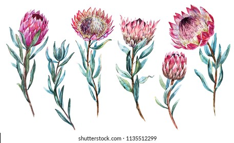Watercolor set isolated drawing exotic flower Protea flower Australia, watercolor illustration