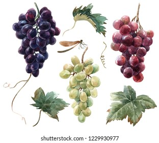 Watercolor set of isolated illustrations, a bunch of red, black and white grapes. Dragonfly.