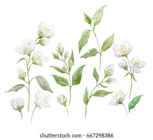Watercolor set of jasmine flowers, twigs and leaves, isolated objects on white background