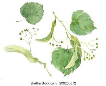 Watercolor set of linden natural elements for design