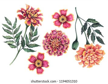 Watercolor set of marigold flowers, hand drawn floral illustration isolated on a white background.