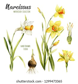 Watercolor set of narsissus. Flowers yellow daffodils isolated white background.