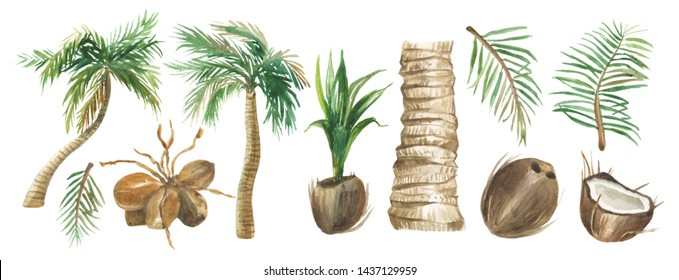 Watercolor set of palm trees, trunk, branches, sprout and coconuts on a white background, for design compositions on the theme of vacation, travel, summer holidays.