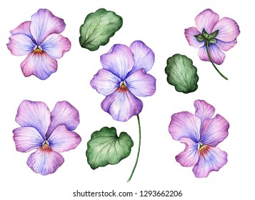 Watercolor set of pansies, hand drawn floral illustration, beautiful flowers and leaves isolated on a white background.