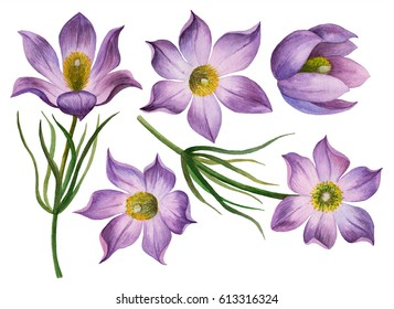 Watercolor set of pasque-flowers, hand drawn illustration of first wild flowers isolated on white background.
