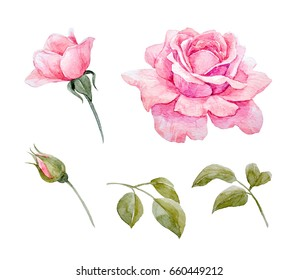 Watercolor set of pink rose illustration, bud and leaves
